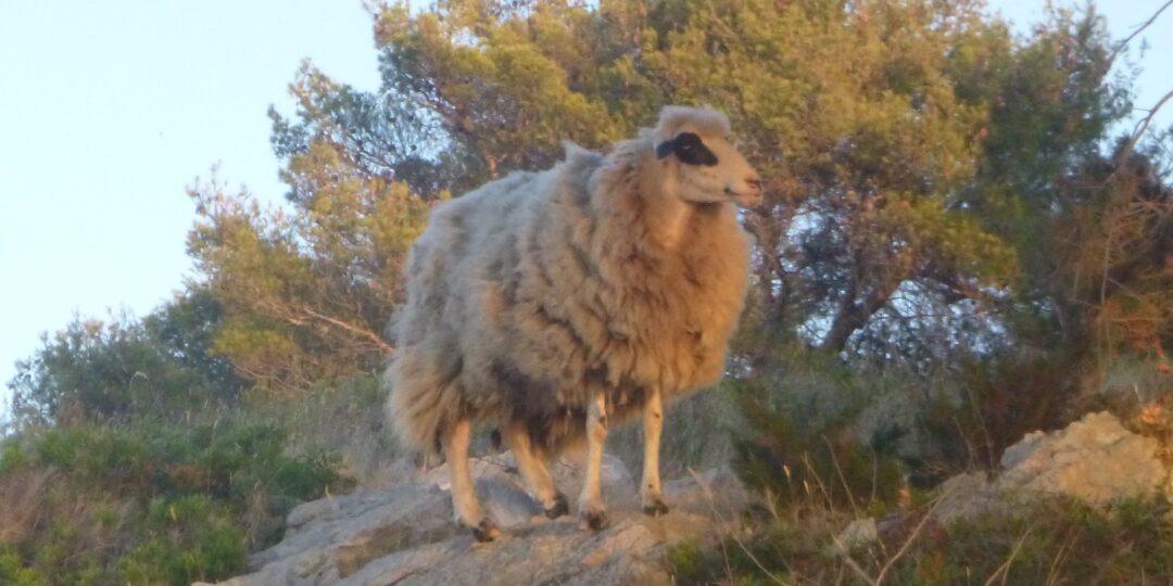 Owca na Ilowiku